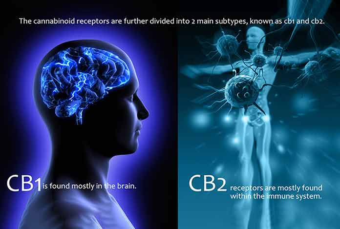 source of How-does-Functions-of-CBD-within-a-work-on-human-Bbody