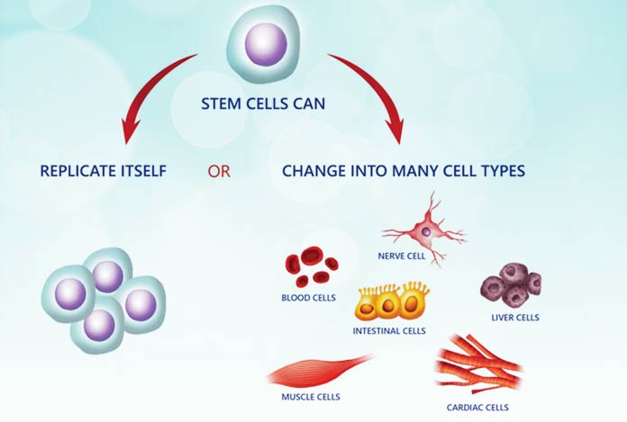 2. Stem Cells – How Do They Work as an Active Antiaging Agent