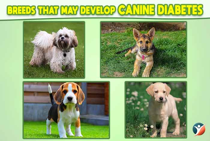 breeds that may develop canine diabetes